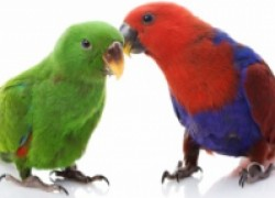 Попугай себя ощипывает