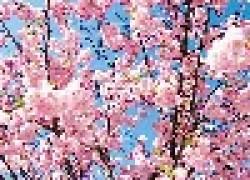 Сакура: вишни, черешни и сливы
