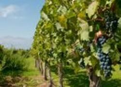 Виноград по системе Шарова