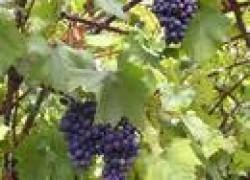 Как подготовить кусты винограда к цветению