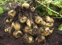 Окучивание спасает картошку от фитофторы