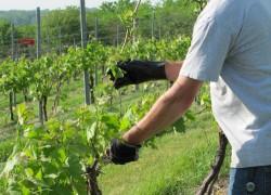 Специальная обрезка винограда