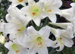 Лилии и их разновидности