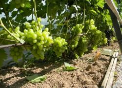 Замена винограда по всем правилам