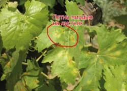 Срочно лечим виноград от милдью. ВИДЕО
