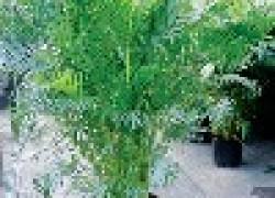 Пальма арека