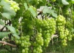 Наросты на виноградной лозе