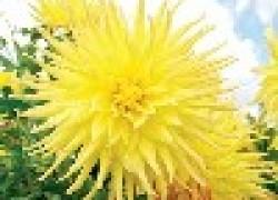 Георгина – главный герой августовского цветника