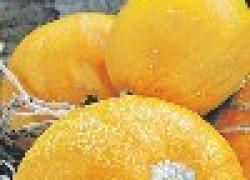 Кустовидные тыквы