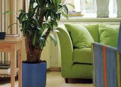 Фикус – яркое украшение вашего дома