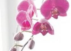 Что делать, чтобы зацвела орхидея