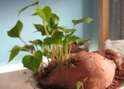 Батат: откуда он и как выращивать