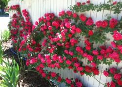 Вьющиеся розы — цветы, которые украсят ваш двор