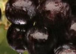 Чем болеет виноград