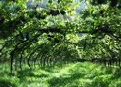 Секреты арочного винограда