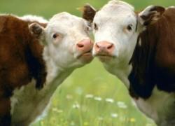 Пропала жвачка у коровы