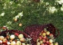 Лучшие зимние сорта яблок