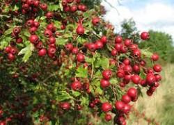 Какая польза от ягод боярышника крупноплодного