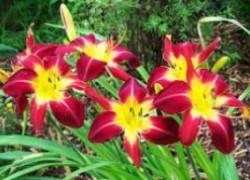 Мой сад лилейников
