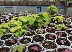 Выращивание колеусов рассадой из семян. ВИДЕО