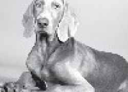 Веймаранер: серебряный призрак