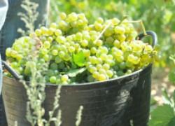 Когда созревает виноград