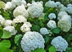 Как добиться богатого цветения древовидной гортензии