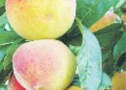Редкие сорта персика