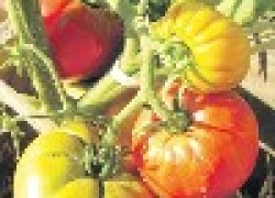 Алексей ПОПОВ: «Моя попытка вырастить помидорное дерево»