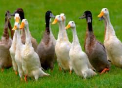 Утки: индийские бегунки