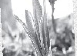 Черемша - кладовая витаминов