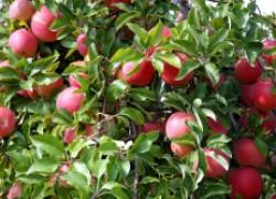 Как продлить жизнь старой яблоне
