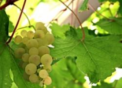 Как ускорить вызревание лоз винограда