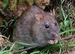 Болят глазки у крысенка