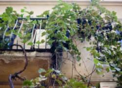 Выращиваем виноград на балконе