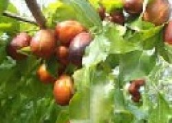 Зизифус – дерево жизни!