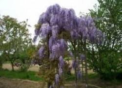 Цветочные гроздья глицинии