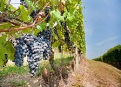 Северный виноград – тонкости посадки