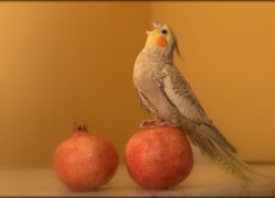 Птицы-говоруны