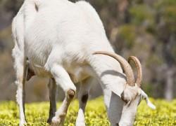Как раздоить козу