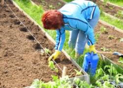 Когда можно сажать рассаду в грунт