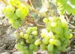Последние обработки винограда