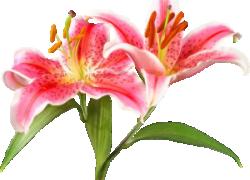 Почему не цветут лилейники