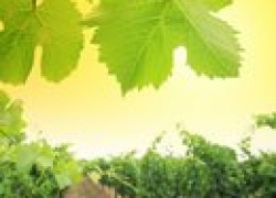 Веерные формировки винограда
