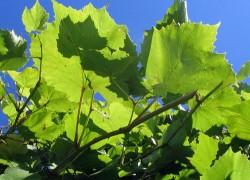 Размножаем куст винограда