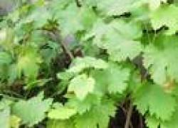 Листья винограда сохнут и опадают
