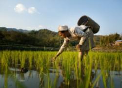 А вы знали, как выращивают рис?