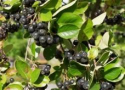 Интересные факты о черноплодной рябине