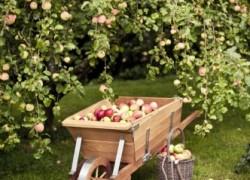 Как ускорить плодоношение сада