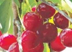 Большие минусы хороших сортов вишни